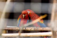 201405_Bonaparte_Parrot_zoo_Bosovice_00016