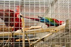 201405_Bonaparte_Parrot_zoo_Bosovice_00018