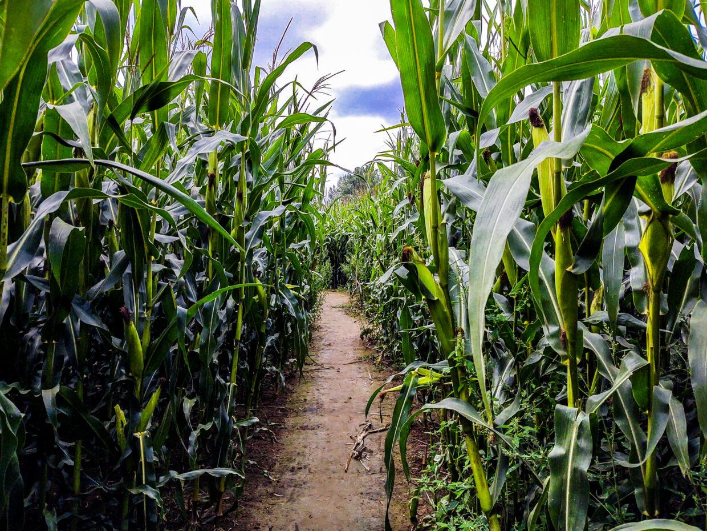 Corn Maze Brno