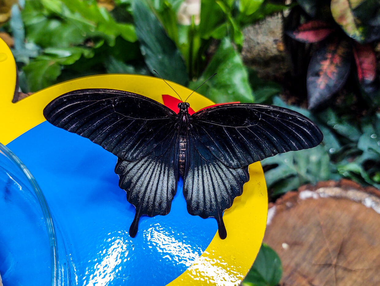 Butterfly in Papilonia